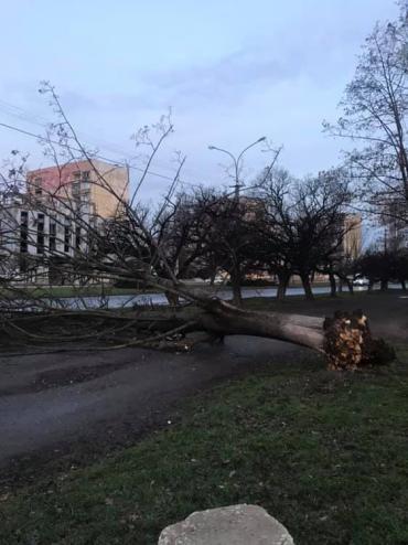 В Закарпатье огромное дерево упало на пешеходную часть
