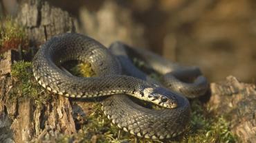 В Карпатах зафиксировали нападение змей