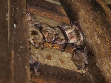 На Закарпатті офіційно нараховується 23 види кажанів