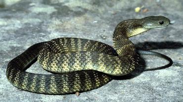 В Карпатах зафиксировано нападение змеи