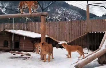 Можно смотреть вечно: В Закарпатье тигры и львица нереально кайфуют от снега