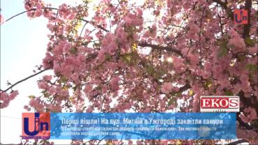В Закарпатье уже начинают цвести сакуры