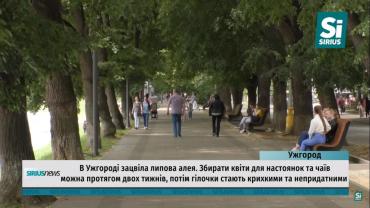 Липовая аллея в Закарпатье покоряет всех своей красотой