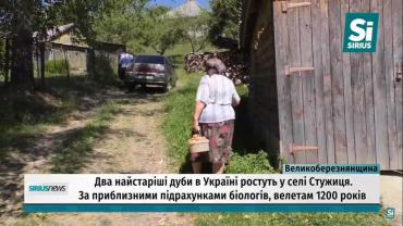 На Закарпатье растут два самых старейших дуба Украины