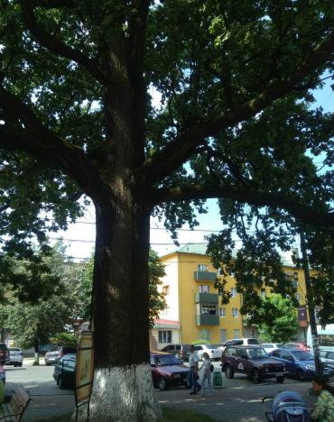 В Закарпатье дерево с необычной энергетикой, которому почти 400 лет, привлекает тысячи туристов