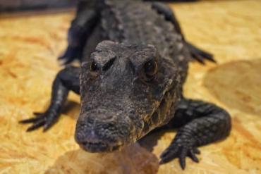 В обласному центрі Закарпаття можна буде побачити справжнього живого крокодила