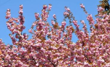 Кадры цветущей сакуры в Ужгороде