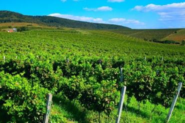 Рельєфна місцевість Закарпаття сприяє розвитку виноградарства