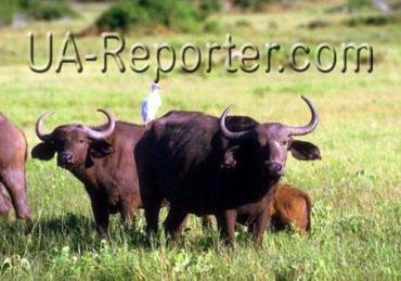 Карпатские буйволы в Долине нарциссов