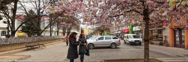 В Мукачево растет аномальная сакура, цветущая трижды в году
