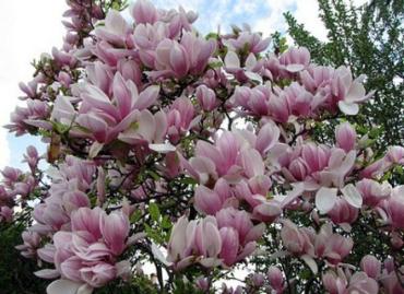 Их цвет и умопомрачительный запах привлекает туристов