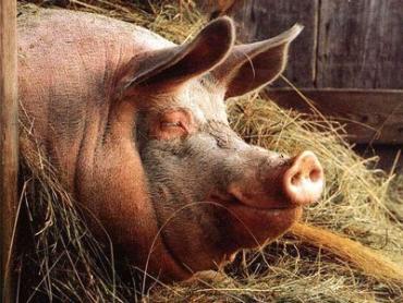 """Возле таких свиней-гигантов приходится все время """"крутиться"""""""