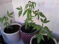 На балконе в ужгородца изъяли 13 стеблей похожего на коноплю растения