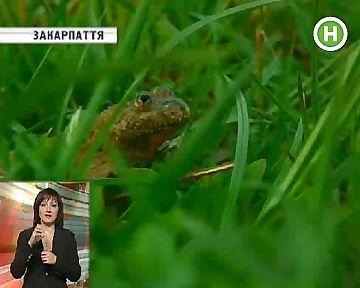 На Закарпатті харчуються жабами