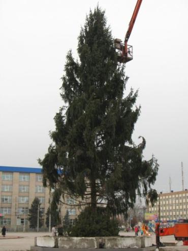 Елка высотой 22 метра выросла на склонах Говерлы, возле села Косовская Поляна