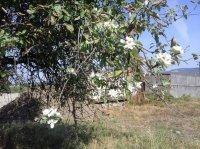 Ніжні квітки з'явились на кількох гілках дерева