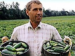 Огурец стал изюминкой овощного сезона на Закарпатье