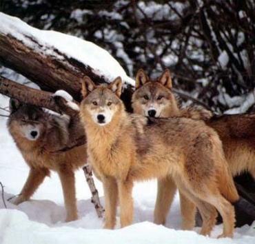 В лесах Волыни началась плановая охота на волков.