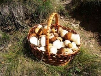 Грибы – лесные деликатесы