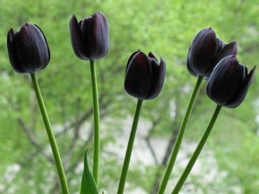 Цветут черные тюльпаны