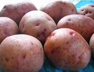 На Закарпатті картоплі зібрано з площі 36,1 тис.га