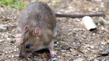 От крысиного лептоспироза с начала лета пострадало уже два человека