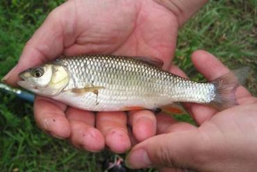 В Боржаве словили новый вид рыбы - плотва Паннонская