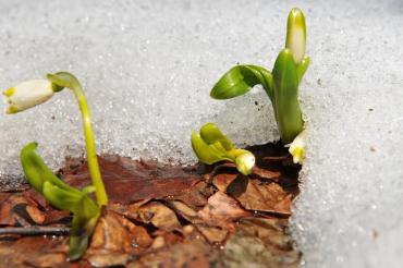 Первый весенний цветок на полонины Руна