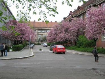 Японские вишни на улицах Ужгорода