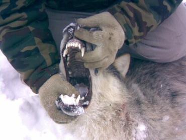 Белорус голыми руками задушил волка в лесу