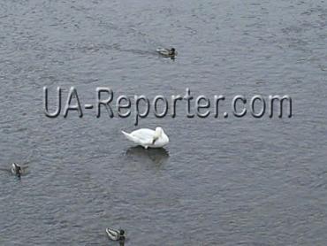 Одинокий лебедь плавает неподалеку от пешеходного моста в центре Ужгорода