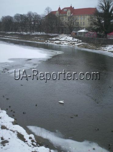 Самотній лебідь плаває неподалік від пішохідного моста в центрі Ужгорода