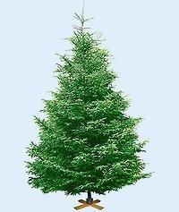 В конце этой недели в Донецке можна будет купить елку из Закарпатья под Новый год.