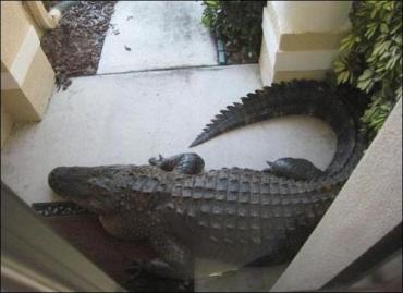 Аллигатор пришел в гости