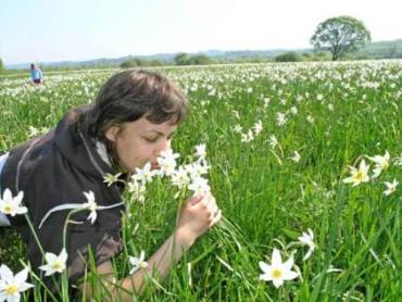 Пик цветения в Долине нарциссов ожидают 10 мая