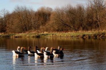 Еще живые дикие гуси