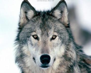 На Закарпатті вовки загризли на випасі 5 телиць та 3 лошат