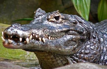 В Австралии крокодила Игоря выгнали с фермы за убийство самок