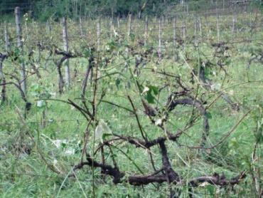 В Берегово град уничтожил виноградники, посевы культур, дома
