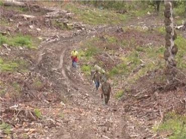 В закарпатском селе Лумшоры проводят массовую вырубку леса