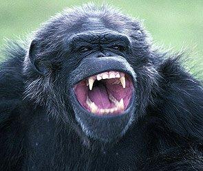 Самец шимпанзе пытался изнасиловать работницу Ростовского зоопарка