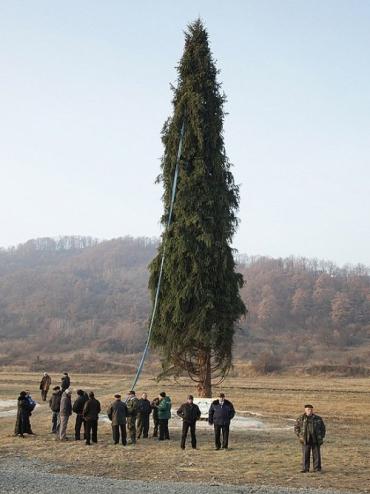 Виктор Янукович подарит Папе Римскому елку из Закарпатья