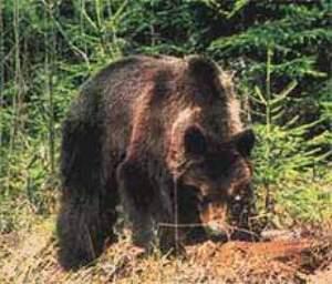 В Карпатах медведи часто нападают на диких кабанов, оленей и коров