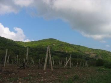 В Закарпатье выращивают виноград в пяти районах
