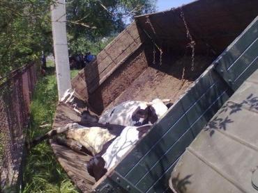 Закарпатець так викрав вантажівку з коровами, що потрапив в ДТП