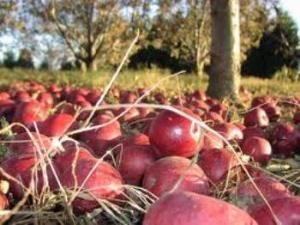 В Закарпатье собираются установить новый рекорд, - яблочный!