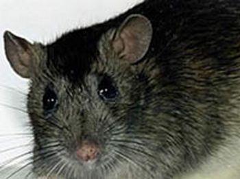 Крысу длиной 80 см обнаружили в джунглях Новой Гвинеи