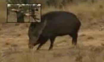 На Раховщине охотник незаконно убил кабана