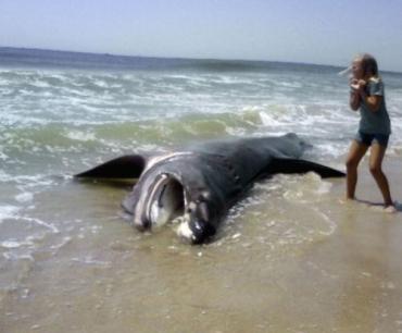 Акулу выкинуло на пляж в нью-йоркском Лонг-Айленде