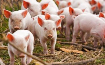 Через епідемію в Україні скоротилося поголів'я свиней